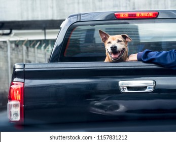Dog on black pick up truck -back view