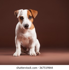 Dog on a brown background. Jack Russell Terrier puppy