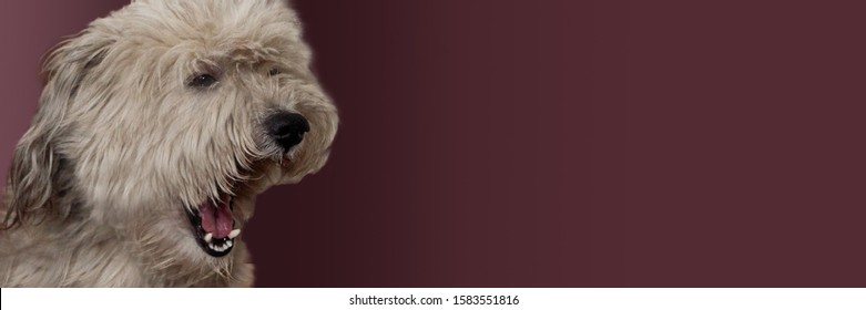 a dog on a Burgundy background ,yawn