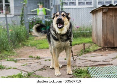 Dog on a chain. The dog protects the house. Vicious dog. The dog barks. dog on a leash. The German shepherd protects the house