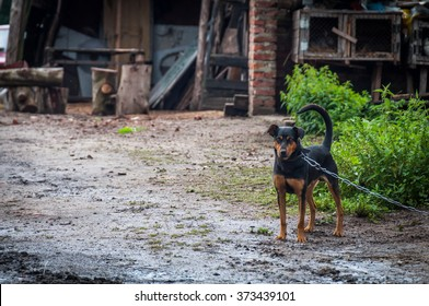 Dog on a chain in the village guarding the homestead
