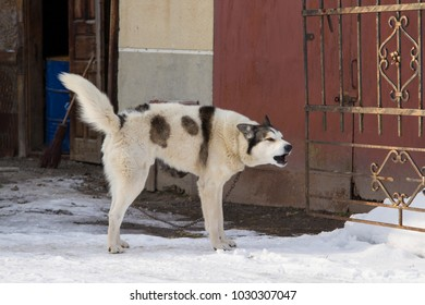 dog on a chain in the yard in winter. doghouse with dog in a dog pawn. dog on chain in winter time when it's snowing