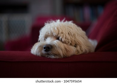 Dog on couch, tired
