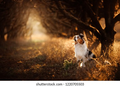 dog on the footpath. Mystical place, trees, apples. Australian Shepherd in nature