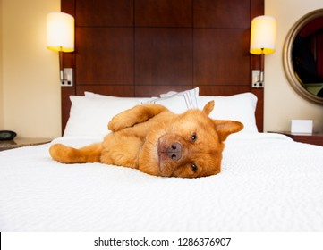 Dog on his back relaxing in hotel bedroom.