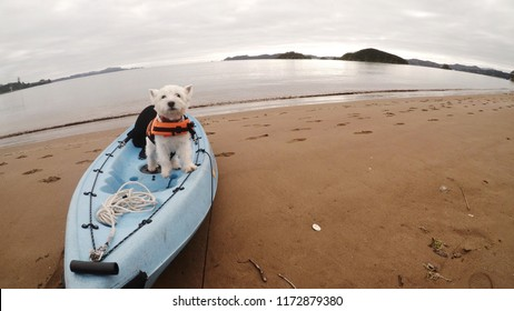 Dog on kayak: west highland white terrier westie standing on kayak on beach at Paihia, Bay of Islands, Far North District, Northland, New Zealand, NZ