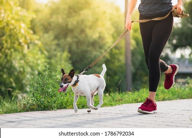 Dog on the leash with jogger. Running, exercising with pets, active lifestyle in town, woman running with her fox terrier