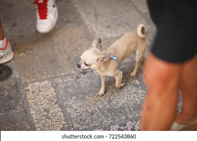A dog on a leash for a walk in the city street with the owner