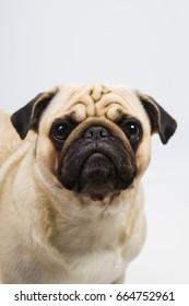 Dog on a light background close-up. Pug.