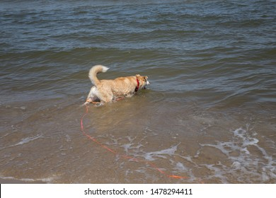 A dog on a long leash in the water