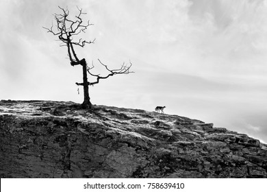 The dog is on the mountain to a lonely bald tree with no leaves. Black and white grim pessimistic landscape with rays at sunset.