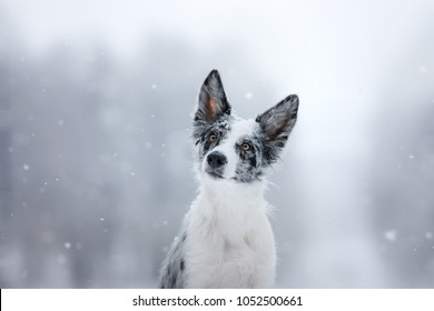 a dog on the nature of a Border Collie breed. Obedient and cute pet. Marble color