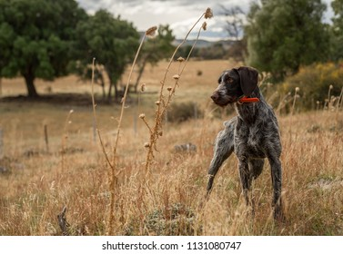 Dog on point while hunting quails, the dog holds the pointing for the hunter.