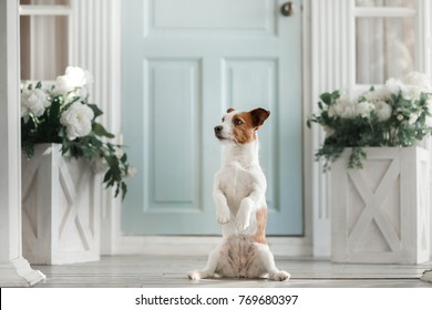 dog on the porch. Little Jack Russell Terrier Outside the House