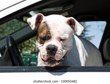 dog on the seat of a driver in the car