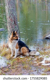 A dog on the shore of a forest lake. Spring landscape.