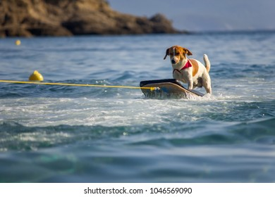 Dog on the surfing board on the sea