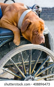 Dog on vintage horse carriage