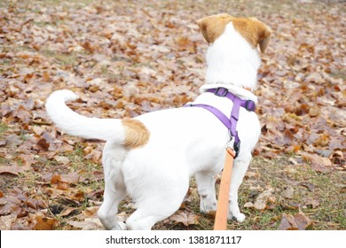 A dog on a walk wagging her tail.