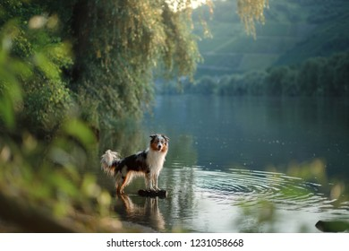 dog on the water. Summer with a pet. Australian Shepherd at the river