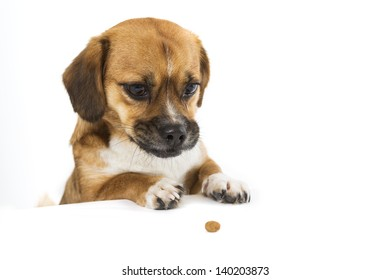 Dog on white looking at biscuit standing on his back legs