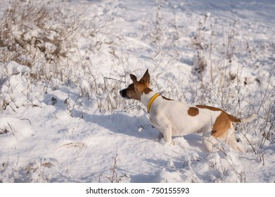 A dog on a winter hunt, takes a trail, a breed of fox terrier