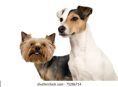 Dog with one brown eye and yorkshire are posing