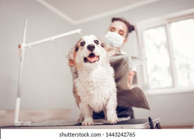 Dog opening mouth. Cute white dog opening mouth after shaving and washing in the grooming salon