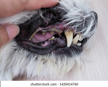 Dog oral and dental health of tooth decay, plaque, gingivitis and bad breath, Toothache of pets