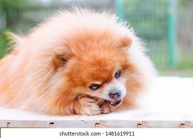 Miniature Pomeranian Spitz Puppy Images, Stock Photos