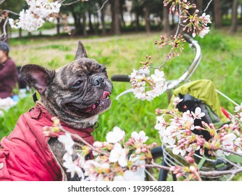 Dog outdoor portrait , brindle French bulldog sitting in bicycle basket at the park with blur Sakura blossom in foreground