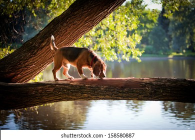 dog outdoors. beagle