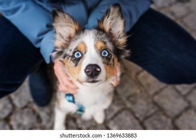 Dog owner holding a miniature australian shepherd puppy
