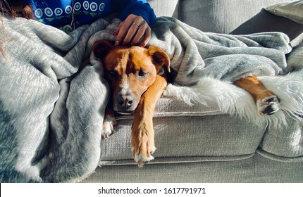 Dog and Owner Snuggling on Sofa with Blanket Shepherd Puppy Snuggles with Human on Couch Looking Sleepy