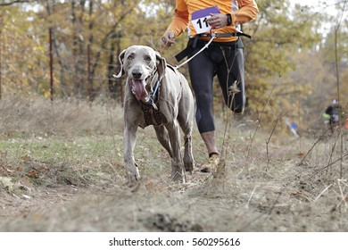 Dog and its owner taking part in a popular canicross race
