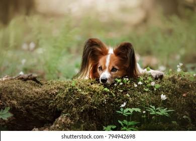 dog papillon lies on a log in nature. Pet outdoors