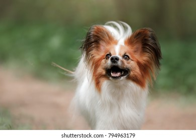 Dog papillon in the park plays. Pet outdoors