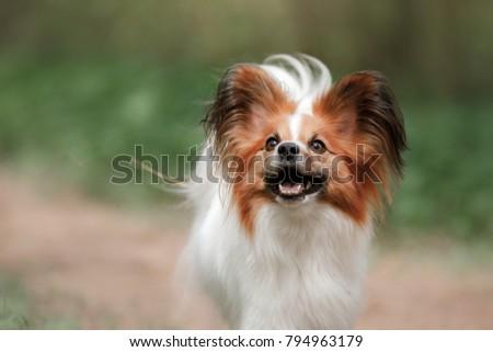 Dog Papillon Park Plays Pet Outdoors Stock Photo Edit Now
