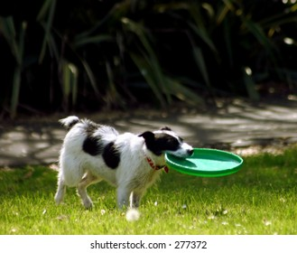 Dog in Park with Frisbee