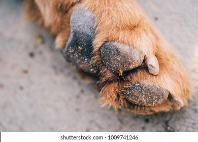 Dog Paw Macro Closeup Dirty with Muddy Soil. Brown Dog Single Foot Showing Pad on Floor.