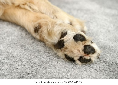 dog paws from golden retriever lying on on carpet in the house