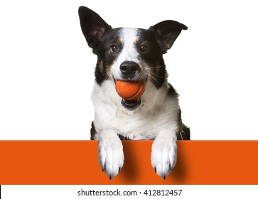 Dog with paws over orange sign, holding orange banner.   Border Collie/ Terrier Mix