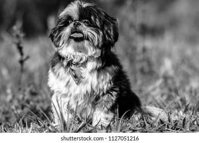Dog P&B shi Tzu - Shutterstock ID 1127051216