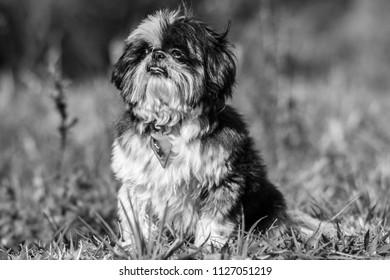 Dog P&B shi Tzu - Shutterstock ID 1127051219