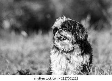 Dog P&B shi Tzu - Shutterstock ID 1127051222