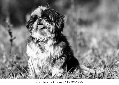 Dog P&B shi Tzu - Shutterstock ID 1127051225