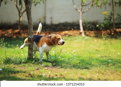 Dog peeing. Beagle pee at tree in the park.