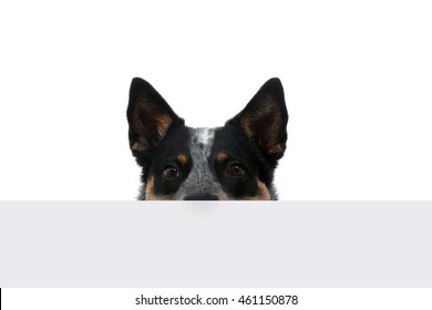 dog peeking over a table isolated white background