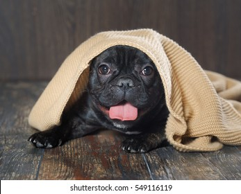 dog peeks out from under the blanket knitted