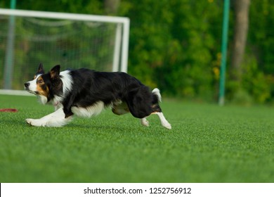 The dog performs at agility competition. Border Collie. Summer day. Nature light